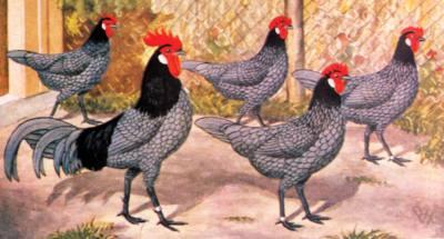 Куры породы Андалузские