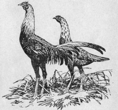 Бойцовые куры (английские) - петух и курица