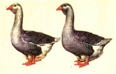 Гуси породы Тулузская