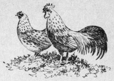 Карликовые бентамки - петух и курица