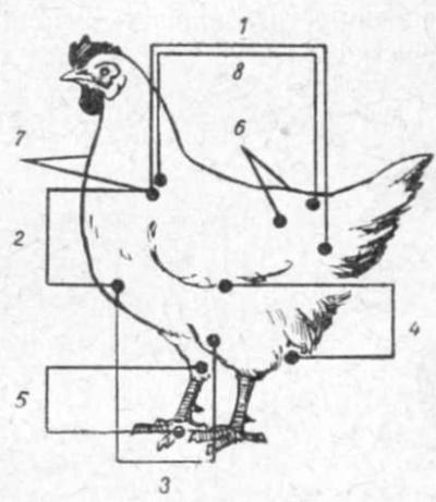 Промеры птицы