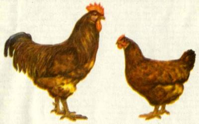 Куры породы Род-айланд