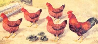 Породы домашней птицы куры несушки